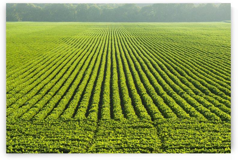 A large field of green soybeans in central Iowa in summer; Iowa, United States of America by PacificStock
