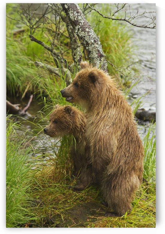 Brown bear (Ursus arctos) cubs standing upright on a grassy bank of Brooks River, Katmai National Park and Preserve, Southwest Alaska by PacificStock