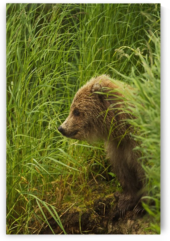Brown bear (Ursus arctos) cub sitting on grassy bank of Brooks River, Katmai National Park and Preserve, Southwest Alask by PacificStock
