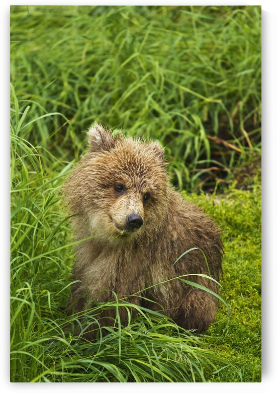 Brown bear (Ursus arctos) cub close-up, sitting in grass, Katmai National Park and Preserve, Southwest Alaska, USA by PacificStock