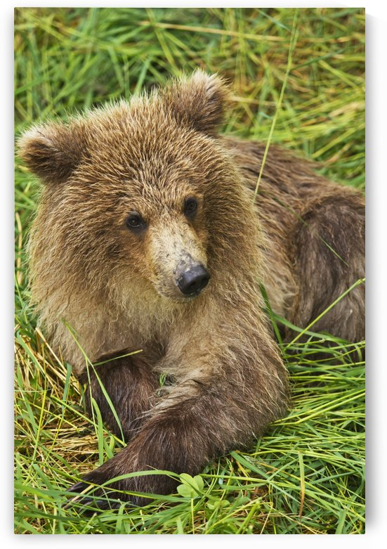 Brown bear (Ursus arctos) cub close-up, lying in grass, Katmai National Park and Preserve, Southwest Alaska, USA by PacificStock