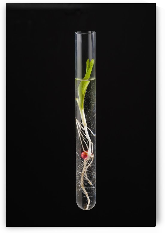 A corn seedling in a test tube on black background; Iowa, United States of America by PacificStock