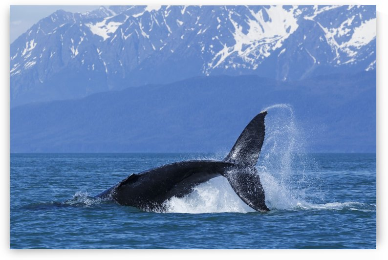 A Humpback Whale calf frolicks in Lynn Canal near Berners Bay, Inside Passage, Alaska by PacificStock