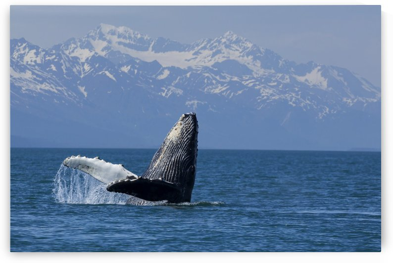 Humpback whale calf breaching in Lynn Canal with the Chilkat Mountains in the background, Southeast Alaska by PacificStock