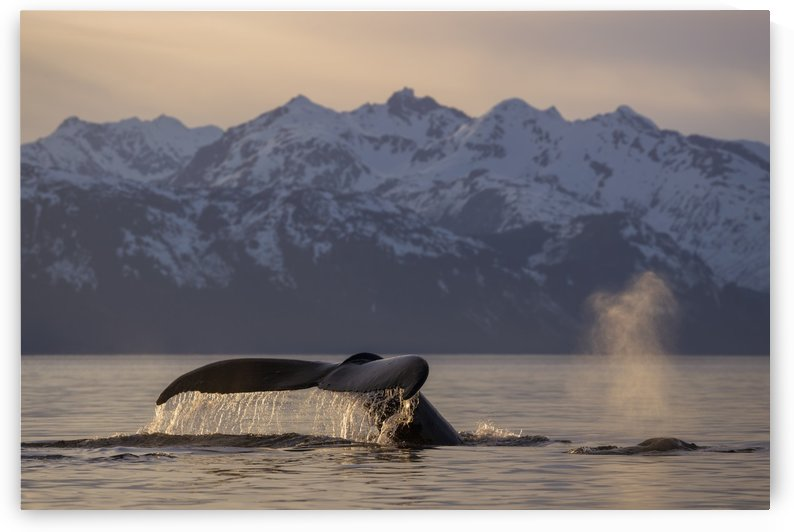 View of Humpback whale lifting its tail as it dives under the surface at sunset, Inside Passage, Southeast Alaska by PacificStock