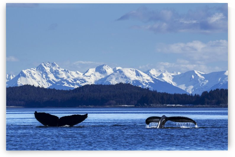 A pair of Humpback Whale tails as they dive beneath the surface, Lynn Canal, Inside Passage, Southeast Alaska by PacificStock