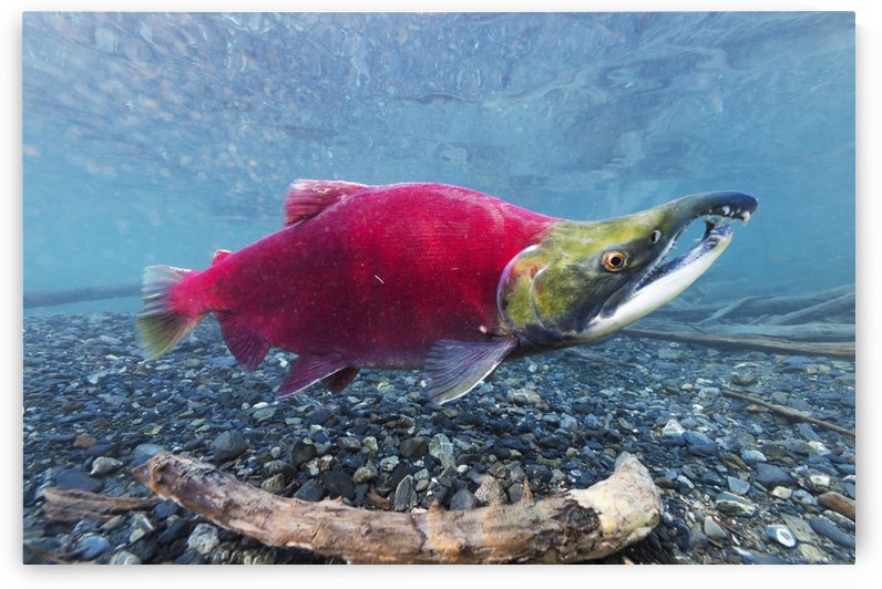 Underwater view of a male Sockeye Salmon in Power Creek near Cordova, Southcentral Alaska by PacificStock