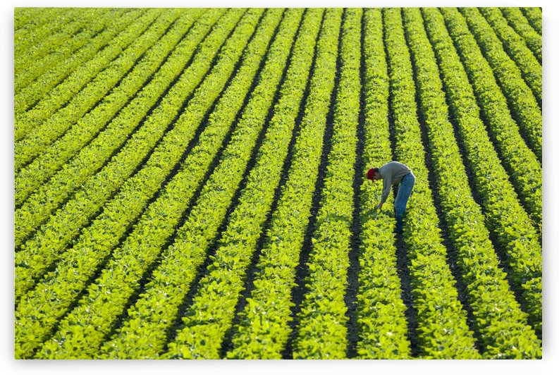 A farmer walking through a large green soybean field in central Iowa in summer; Iowa, United States of America by PacificStock