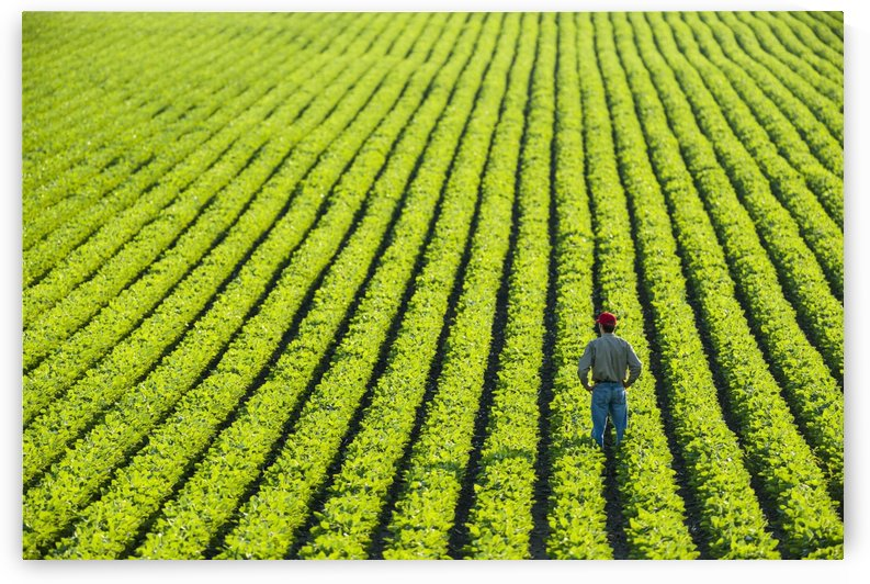 Portrait of a farmer walking through a large green soybean field in central Iowa in summer; Iowa, United States of America by PacificStock