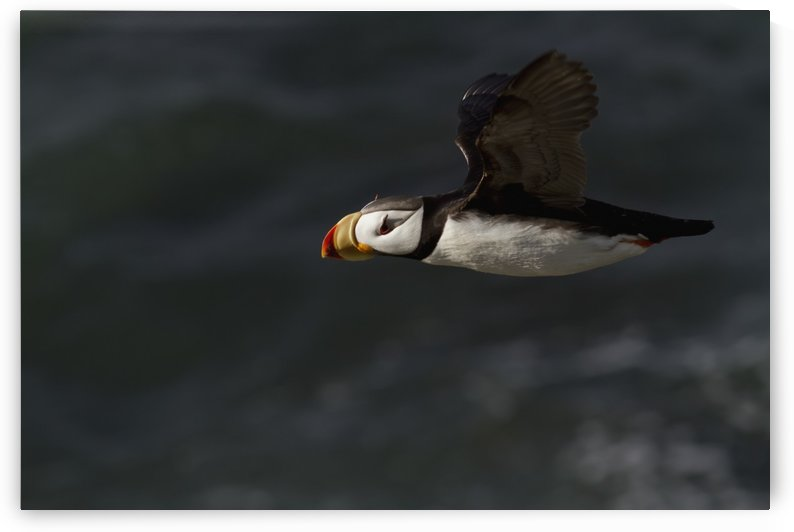 Horned puffin (Fratercula corniculata) in flight over ocean, Walrus Islands State Game Sanctuary, Round Island, Bristol Bay, Western Alaska by PacificStock