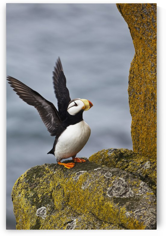 Horned puffin (Fratercula corniculata) standing on lichen-covered boulder flapping wings, Walrus Islands State Game Sanctuary, Round Island, Bristol Bay, Southwestern Alaska by PacificStock
