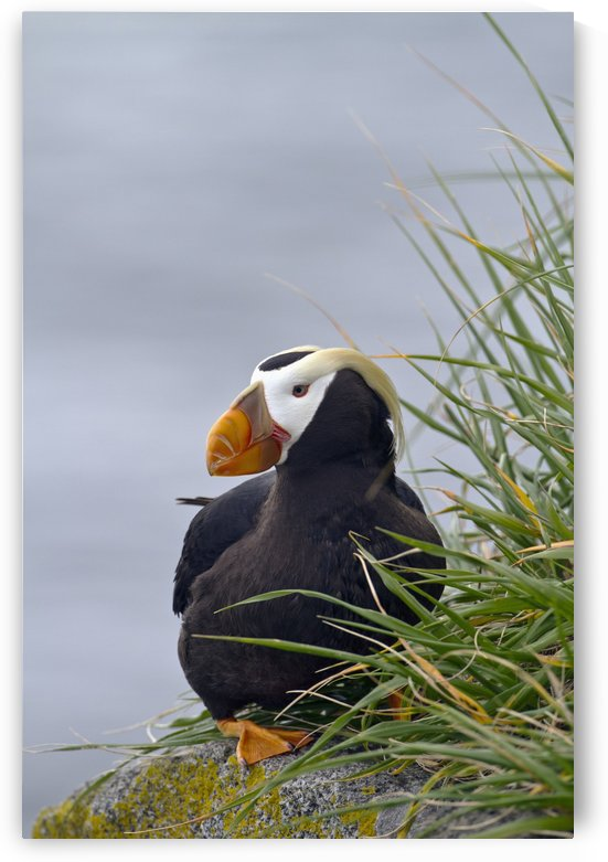 Tufted puffin (Fratercula cirrhata) sitting on boulder, Walrus Islands State Game Sanctuary, Round Island, Bristol Bay, Southwestern Alaska by PacificStock