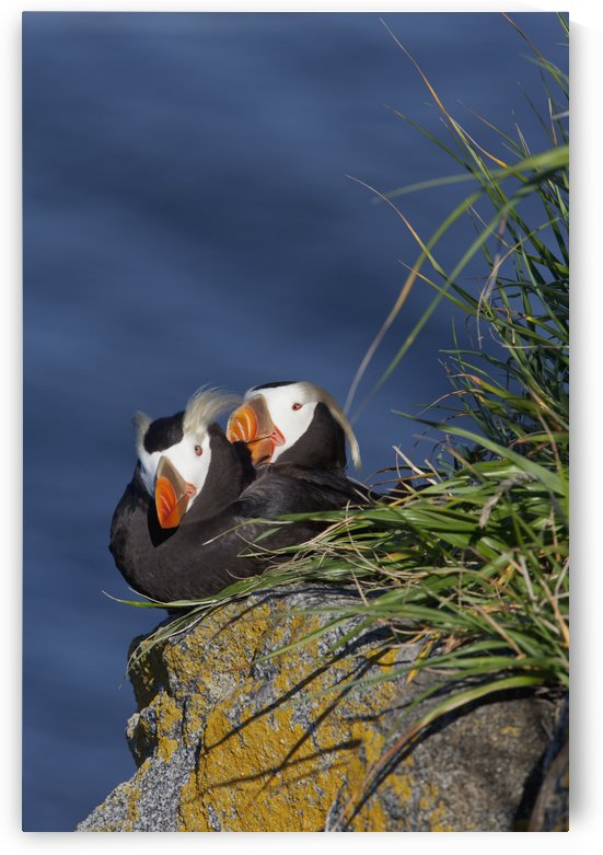 Pair of Tufted Puffins (Fratercula cirrhata) preening on a lichen covered boulder in afternoon sunshine, Walrus Islands State Game Sanctuary, Round Island, Bristol Bay, Alaska by PacificStock