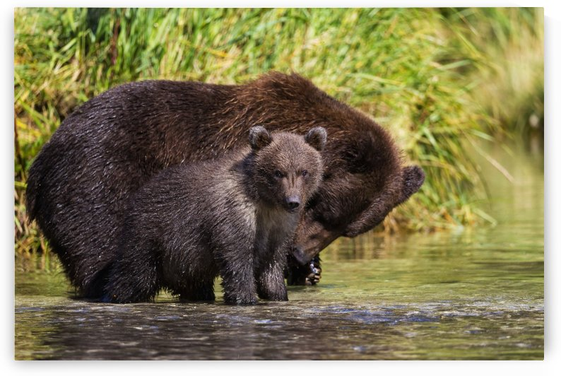 Coastal brown bear and cub fishing in a river, Katmai National Park and Preserve, Southwest Alaska by PacificStock