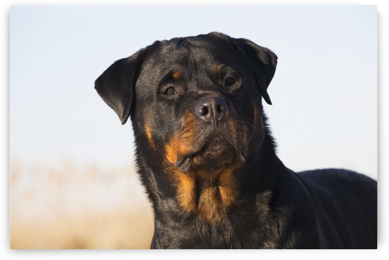 Portrait of Rottweiler dog on winter beach; Guilford, Connecticut, USA by PacificStock