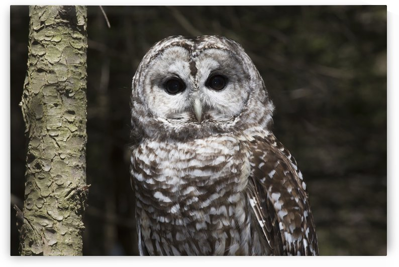 Northern barred owl perched on birch limb; Connecticut, USA by PacificStock