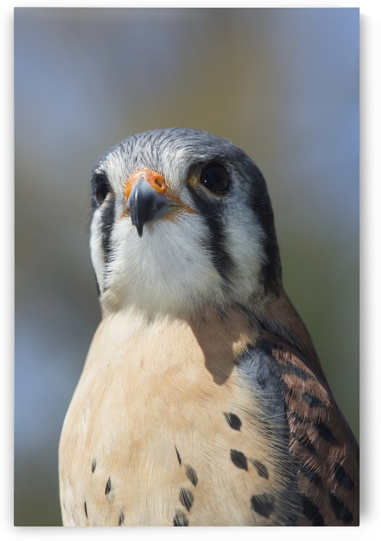 American kestrel in breeding plumage; Connecticut, USA by PacificStock