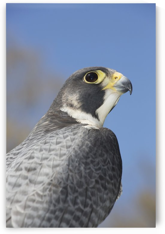 Peregrine falcon; Connecticut, USA by PacificStock