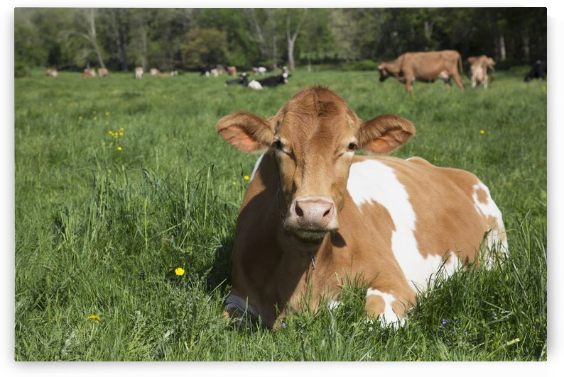 Guernsey cow chewing cud, lying in lush spring meadow; Granby, Connecticut, United States of America by PacificStock