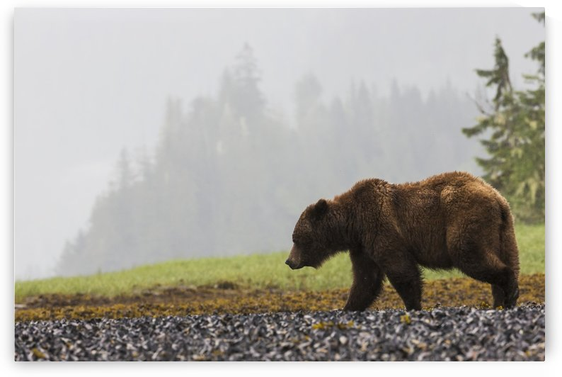 Grizzly bear walking on shore of Khutzymateen Grizzly Bear Sanctuary; Prince Rupert, British Columbia, Canada by PacificStock