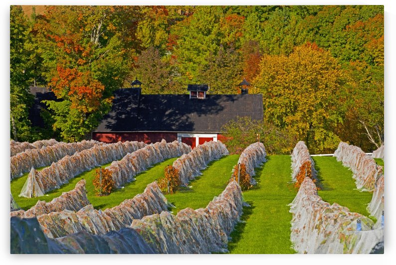 Wine grape vineyard in autumn with bird netting covering the vines to protect the crop shortly before harvest; Knowlton, Quebec, Canada by PacificStock