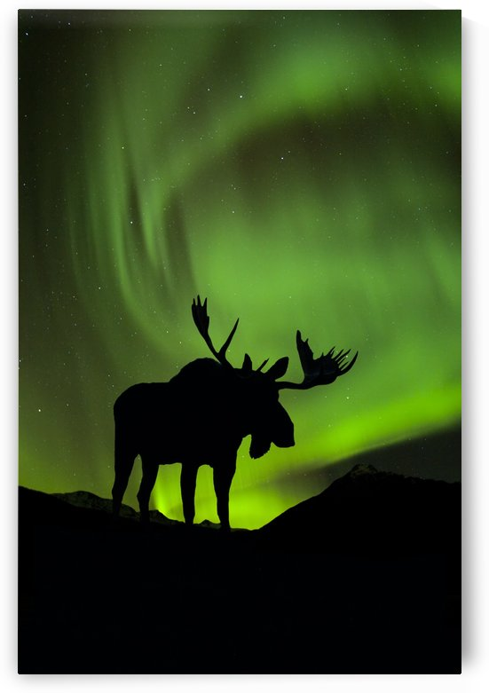 Silhouette of Moose with green Aurora Borealis behind it Interior Alaska Composite by PacificStock