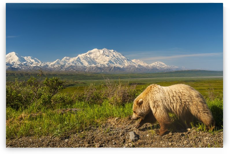 A Grizzly Bear walking alongside the Park Road in Area 14 with Mount McKinley in the Background, Denali National Park, Interior Alaska by PacificStock