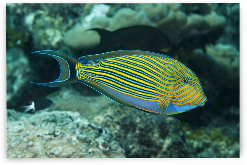 The striped surgeonfish (Acanthurus lineatus) are often found near the top of the reef in the surge zone; Yap, Micronesia by PacificStock