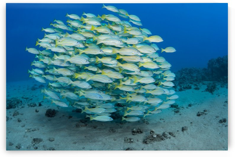 A school of Bluestripe Snapper (Lutjanus kasmira); Maui, Hawaii, United States of America by PacificStock