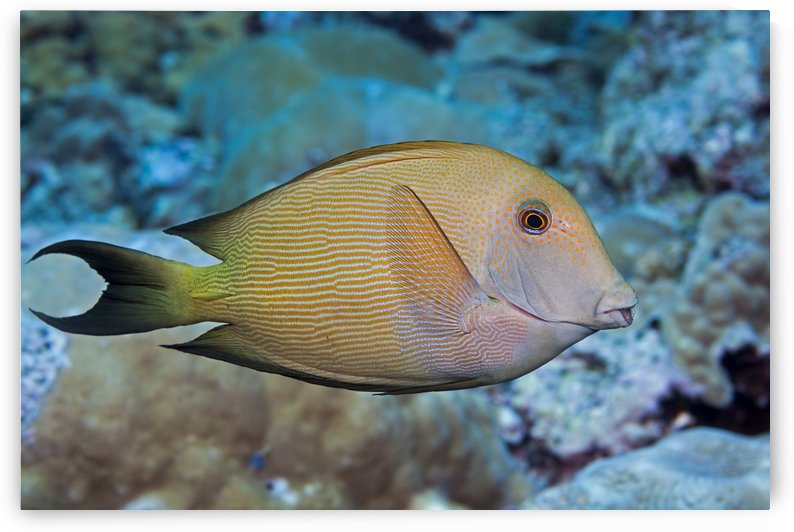 The Striated surgeonfish (Ctenochaetus striatus), also known as a striped bristle tooth; Maui, Hawaii, United States of America by PacificStock