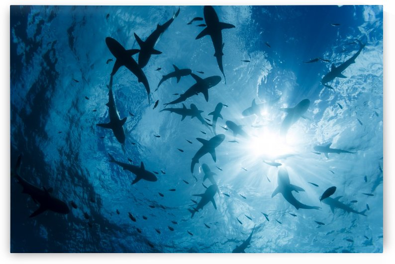 School of Grey reef sharks (Carcharhinus amblyrhynchos) at the surface of the water off the island of Yap; Yap, Micronesia by PacificStock