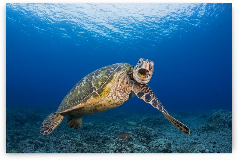 This green sea turtle (Chelonia mydas), an endangered species, is rubbing it's chin on it's shoulder; Maui, Hawaii, United States of America by PacificStock