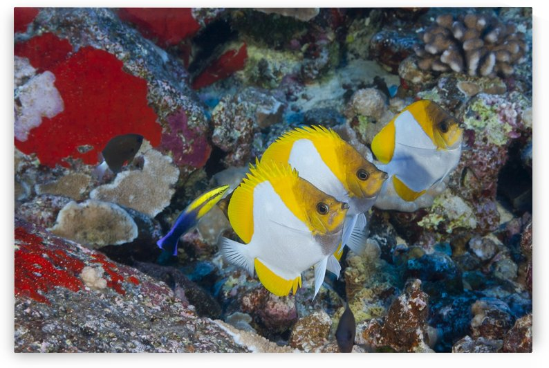 Three pyramid butterflyfish (Hemitaurichthys polylepis) line up for an endemic Hawaiian cleaner wrasse (Labroides phthirophagus); Maui, Hawaii, United States of America by PacificStock