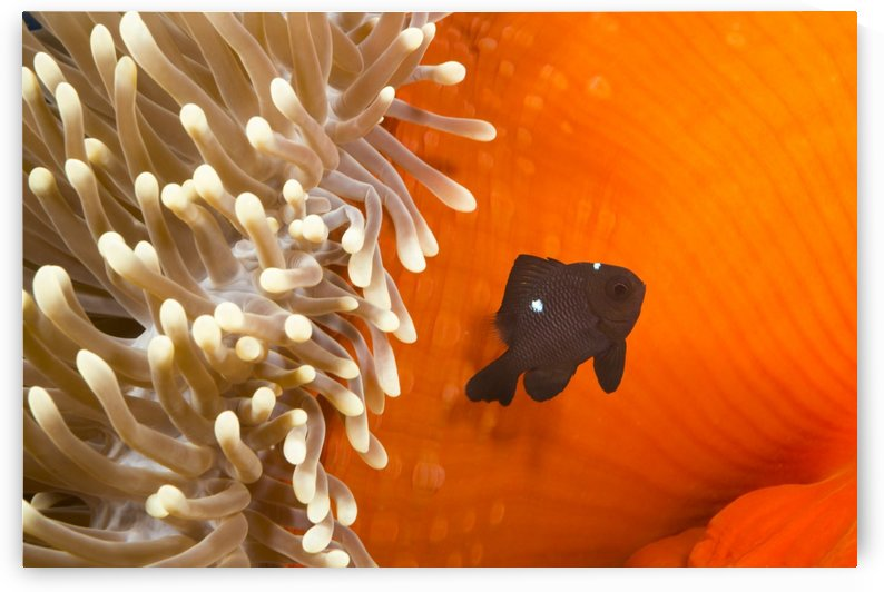 This juvenile three spot damselfish (Dascyllus trimaculatus) is pictured beside the anemone that is utilizes for protection; Yap, Micronesia by PacificStock