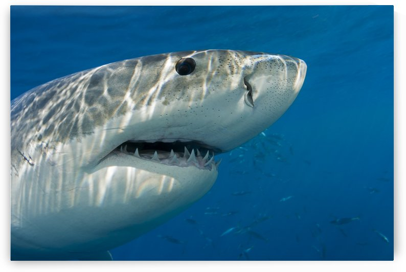 Great white shark (Carcharodon carcharias) just below the water's surface; Guadalupe Island; Mexico by PacificStock