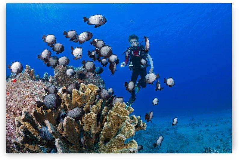 Junior certified scuba diver and Hawaiian domino damselfish (Dascyllus albisella), endemic to Hawaii; Maui, Hawaii, United States of America by PacificStock
