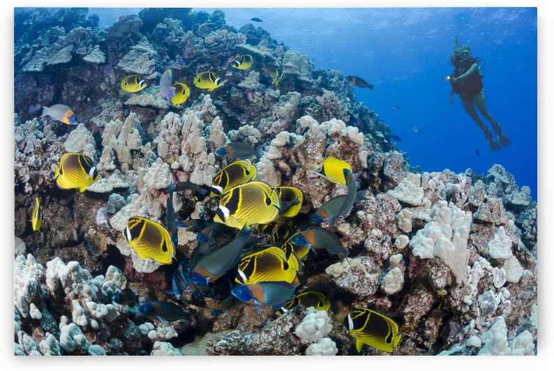 Schooling raccoon butterflyfish (Chaetodon lunula) and a diver on a reef off the island of Lanai; Hawaii, United States of America by PacificStock