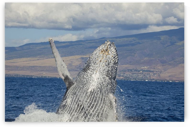 Breaching humpback whale (Megaptera novaeangliae) with the West Maui town of Lahaina in the background; Maui, Hawaii, United States of America by PacificStock