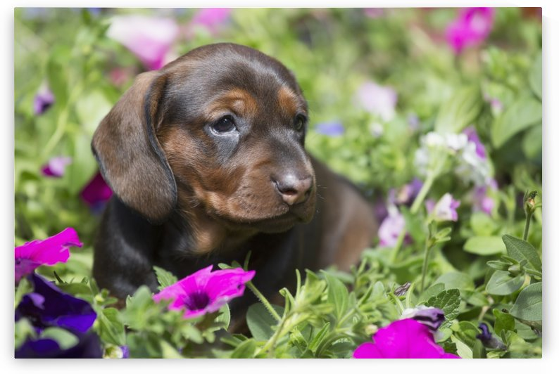 Standard Dachshund puppy in summer garden flowers; Monroe, Connecticut, United States of America by PacificStock