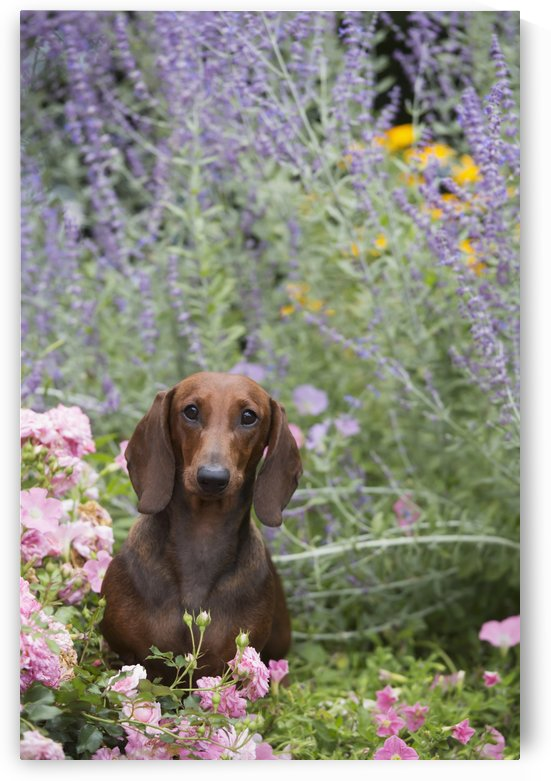 Standard Dachshund in summer garden flowers; Monroe, Connecticut, United States of America by PacificStock