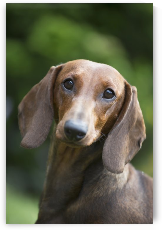 Portrait of a Standard Dashchund; Monroe, Connecticut, United States of America by PacificStock
