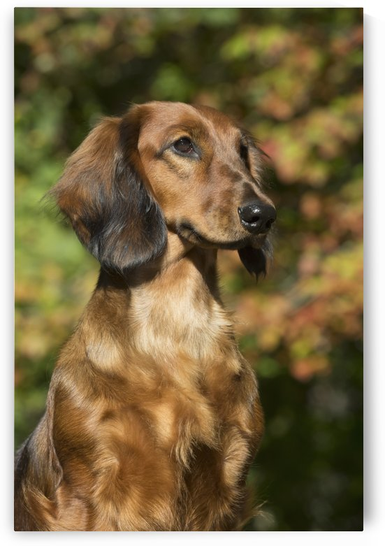 Standard Dachshund (long-haired variety) in September vegetation; Putnam, Connecticut, United States of America by PacificStock