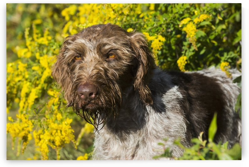 German Wirehaired Pointer in autumn; Hanover, Connecticut, United States of America by PacificStock