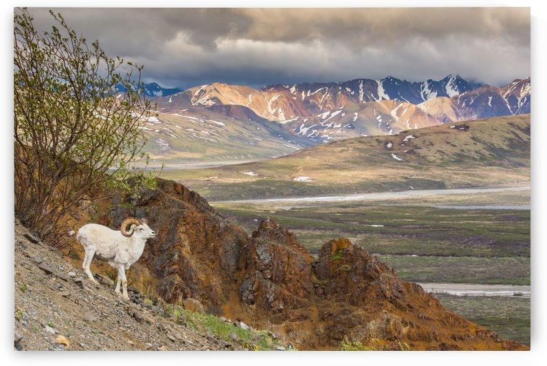 Adult ram Dall Sheep on a hillside overlooking Polychrome Pass and the Alaska Range, Denali National Park, Interior Alaska by PacificStock