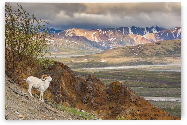 Adult ram Dall Sheep on a hillside overlooking Polychrome Pass and the Alaska Range, Denali National Park, Interior Alaska by PacificStock
