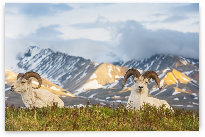 Two adult Dall Sheep rams resting on a hilltop at Polychrome Pass in Denali National Park by PacificStock
