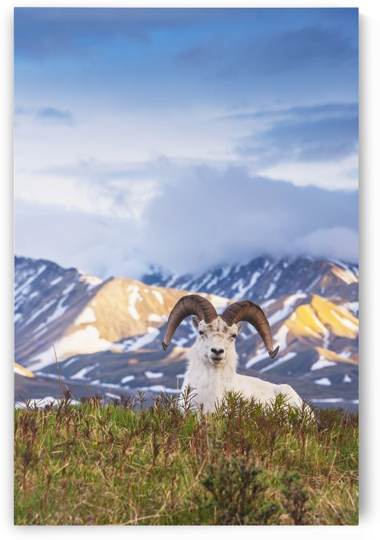 Adult ram Dall Sheep resting on a hilltop at Polychrome Pass in Denali National Park by PacificStock