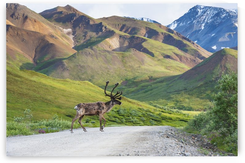 A bull caribou crosses the Park Road near Highway Pass in Denali National Park, Interior Alaska by PacificStock