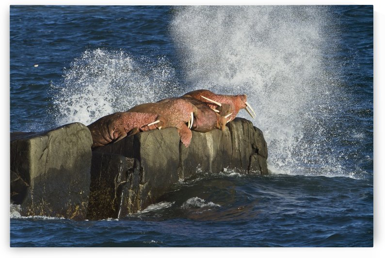 Pacific walrus (Odobenus rosmarus) males hauled out on Flat Rock, waves crashing against rock behind walruses, Walrus Islands State Game Sanctuary, Round Island, Bristol Bay, Western Alaska, USA by PacificStock