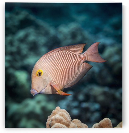 Goldring Surgeonfish (Ctenochaetus strigosus) near Kona; Island of Hawaii, Hawaii, United States of America by PacificStock